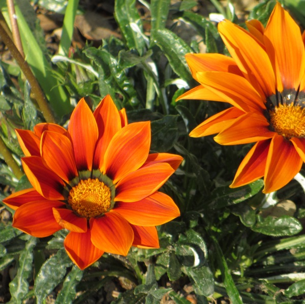 Fiori arancioni nel giardino